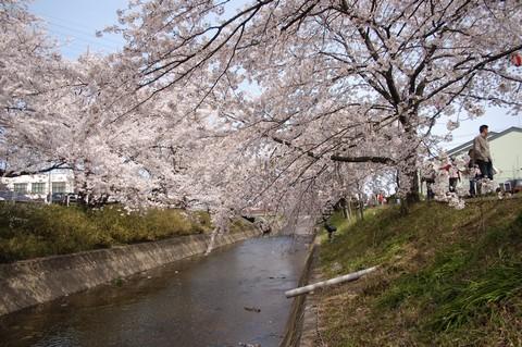 五条川沿いの桜