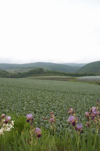 嬬恋キャベツ畑