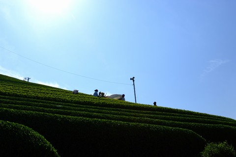 新茶の収穫