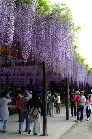 天王川公園の藤祭り
