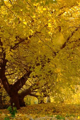 そぶえ イチョウ黄葉まつり