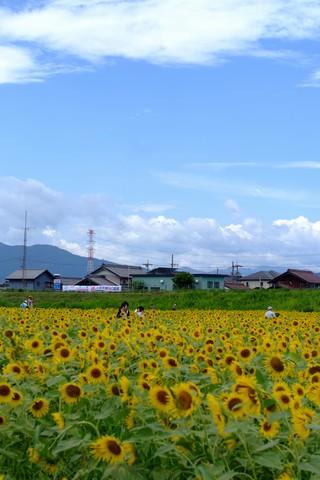 大垣の向日葵