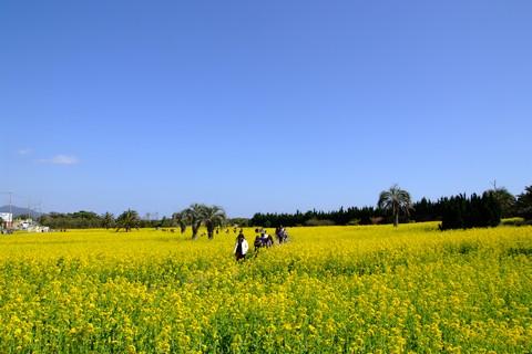 渥美半島菜の花まつり