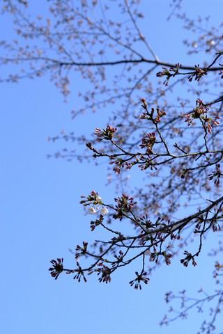 丹野池公園の桜