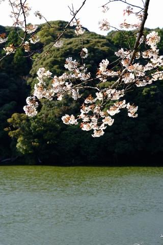 桜ヶ池の桜