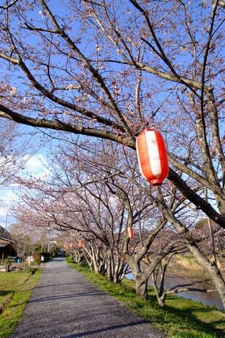 勝間田川の桜