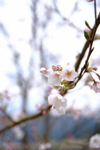 家山川沿いの桜並木
