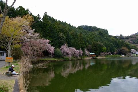 野守の池のしだれ桜