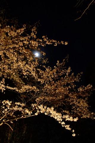 菊川公園の桜ライトアップ