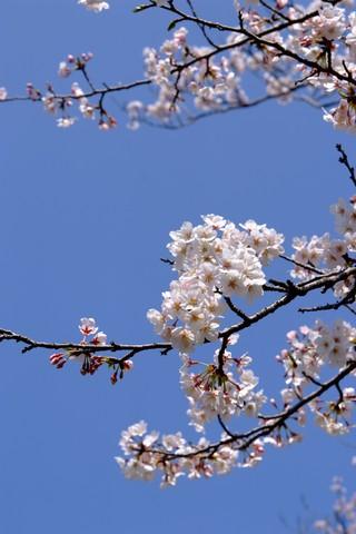 八開の桜並木