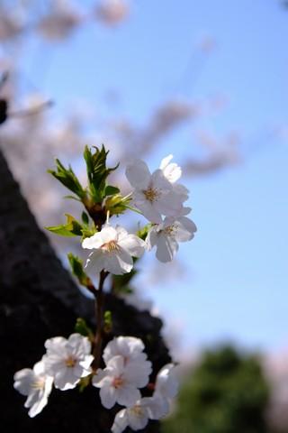 鍋田川堤桜並木