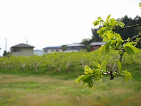 新緑の柿の葉