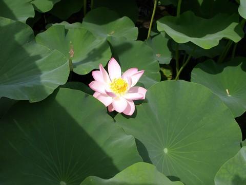 羽島・大賀ハスの池