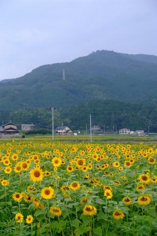 池田温泉のひまわり畑