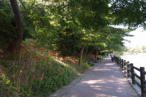 天王川公園の彼岸花
