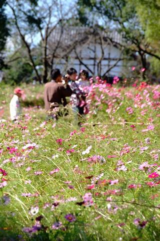 木曽三川公園のコスモス