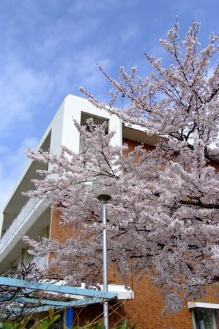 小学校と桜