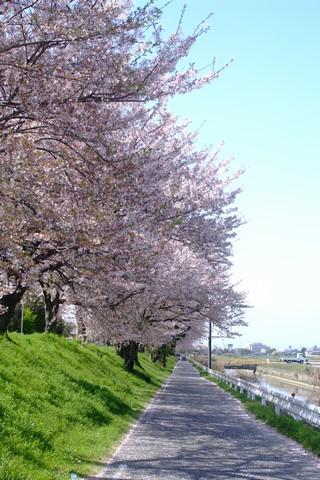 鍋田川堤桜並木の桜