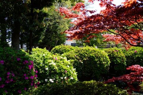 津島神社のツツジ