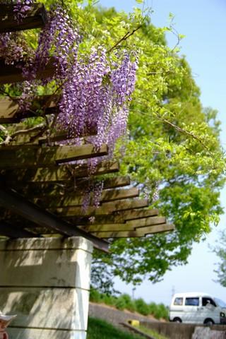 菊川中央公園の藤