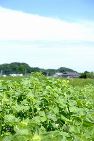 菊川のヒマワリ畑