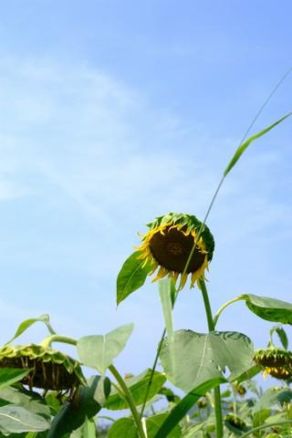 掛川・シオーネのひまわり畑