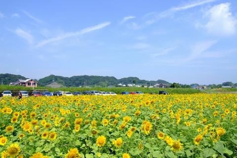 菊川のひまわり畑