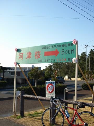 御前崎・白砂公園の河津桜