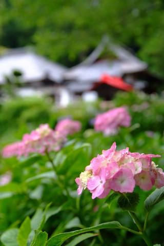 森町 極楽寺のアジサイ